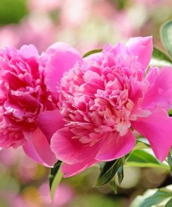 Beautiful Pink Peonies Paint by numbers