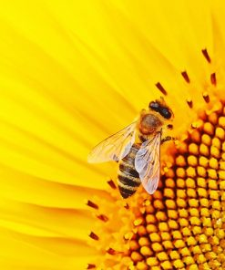 Bee On Sunflower paint by number