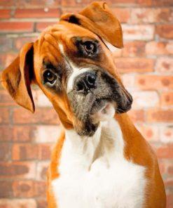 Boxer Dog Portrait paint by number