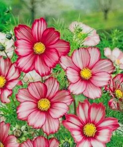 Garden Cosmos Flowers paint by numbers