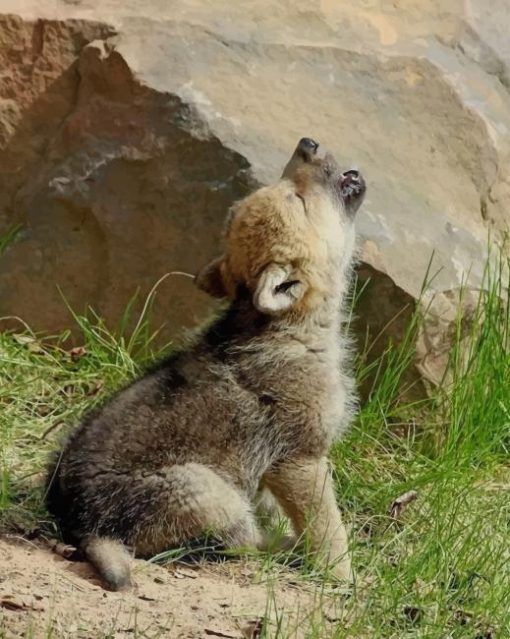 Baby Wolf Howling paint by numbers