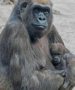 gorilla Mother And Her baby paint by numbers