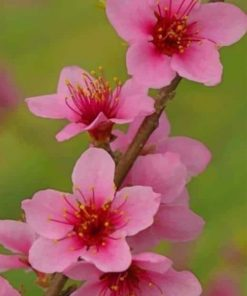 Peach Blossom Flower paint by numbers