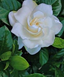 White Rose paint by numbers