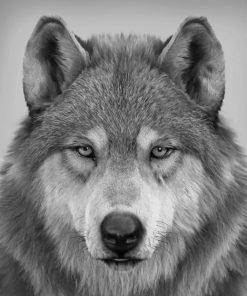 Wolf Portrait paint bu numbers