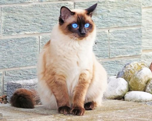 Blue Siamese Cat Eyes