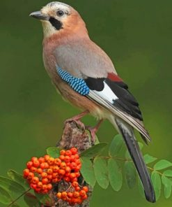 Eurasian Jay Bird paint by numbers