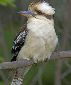 kookaburra Bird On Tree paint by numbers