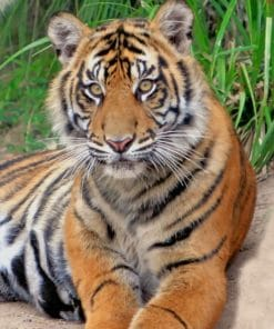 Sumatran Tiger paint by numbers
