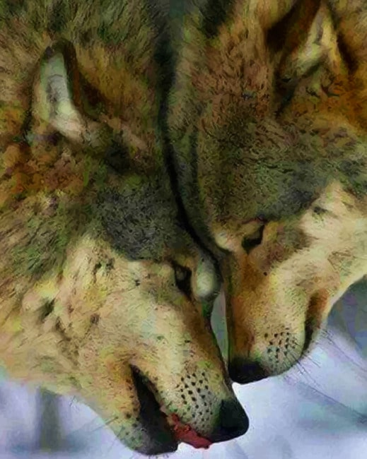 Beautiful Wolf Couple paint by numbers