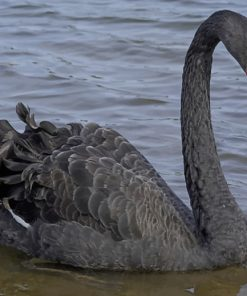 Big Black Swan With Red Mouth paint by numbers