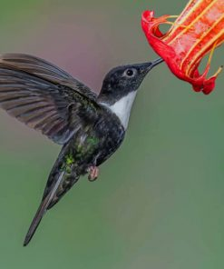 Black And White Hummingbird Flying Collared paint by numbers