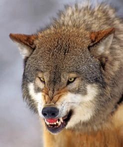 Snarling Wolf paint by numbers