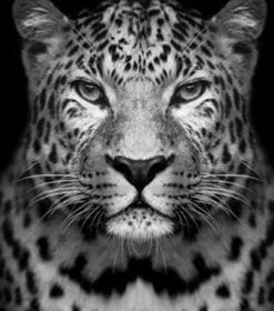 Black And White Leopard Paint by numbers