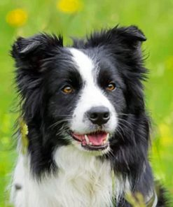 Black And White Border Collie Paint by numbers
