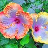 Hibiscus Flowers Paint by numbers