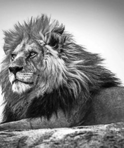 Black And White Leo Paint by numbers