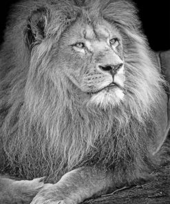 Black And White Lion Paint by numbers