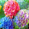 Happily Hydrangea Flowers Paint by numbers