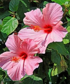 pink-hibiscus-paint-by-number